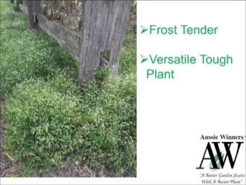 "Design your garden using tough and versatile ""Diamond Frost"" by Aussie Winners www.aussiewinners.com.au"