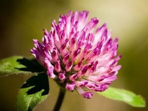 Red clover eases menopausal discomfort