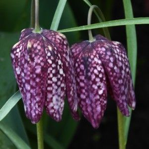 Fritillary flowers beautiful bell shaped patterned flowers. Natasha Marshall Blog