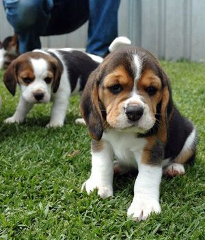 "The beagle dogs because of their smaller size, easy to tame and capture, ""dynamic wind, quiet as loose,"" said. Attractive-looking, and good ..."