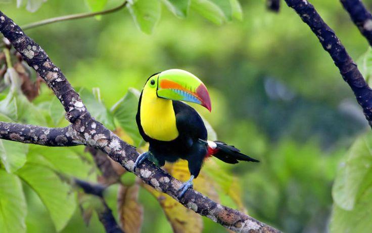 """Costa Rica er et fascinerende bekendtskab og et land som skal nydes. Dyrelivet og naturen er mangfoldig, og landet har formået at beskytte sit dyrebare dyre- og planteliv langt bedre end de andre latinamerikanske lande. Se mere om rundrejsen """"Costa Ricas regnskove og vulkaner"""" på www.apollorejser.dk/rejser/nord-og-central-amerika/costa-rica/rundrejser/costa-ricas-regnskove-og-vulkaner"""