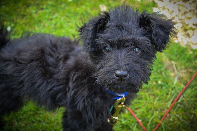 "Patterdale Terriers are considered by many to become the ""elite"" of the go-to-ground hunting terrier breeds."