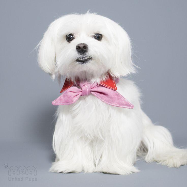 Last day with my fluffy hair. I will get haircut tomorrow✌️YAY! 4-in-1 super bandana http://unitedpups.com/bandana  #maltese#puppylove#dogsofinstagram #doglover#whitedog#aplacetolovedogs #dogoftheday#poodle#petlove#pomeranian #puppystagrams#bandana #stylishdog #luxurydog #morkie #maltipoo #maltipom #schnauzer #dachshund  #beagle #yorkie #shihtzu #unitedpups #frenchie #pug