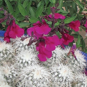 Salvia burgundy seductionHigh Country, Burgundy Flower, Hummingbirds Magnets, Country Gardens, Ground Level, Herbal Scented, Gardens Preferences, Burgundy Seductive, Bush Sage