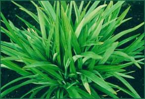 Phormium Emerald Gem Short spiky sword shaped leaves of a striking emerald green make this dwarf flax a bold structural statement in the garden. Short flower spikes attract birds. Easy care. Fertilise in Spring. 80cm x 80cm.