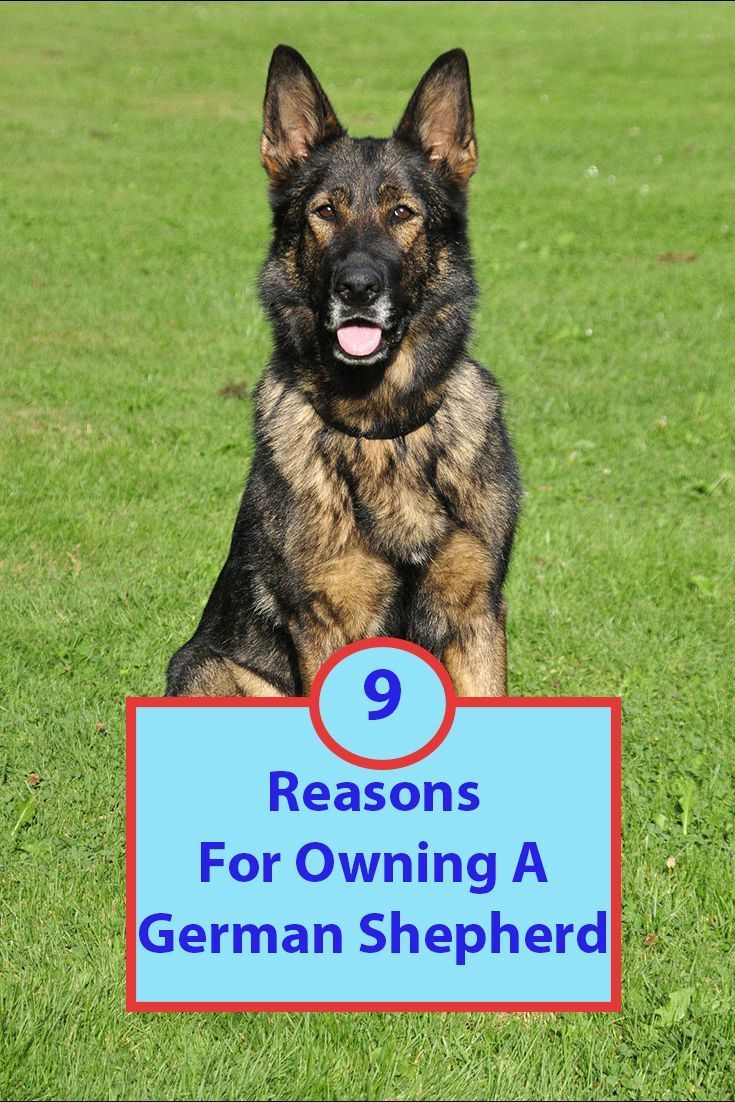 The German Shepherd Is One Of The Most Popular Dogs In The United