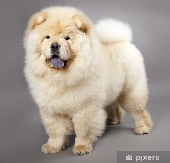 Chow Chow 5 Months In Front Ofa Grey Background Wall Mural