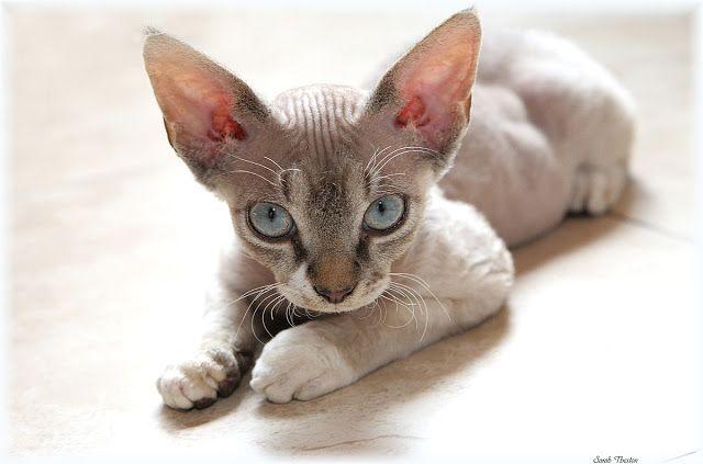 Fabulous Devon Rex Kitten image