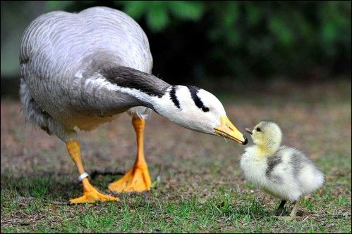 1 Day Old Bar Headed Goose Chick Walks with her mother.