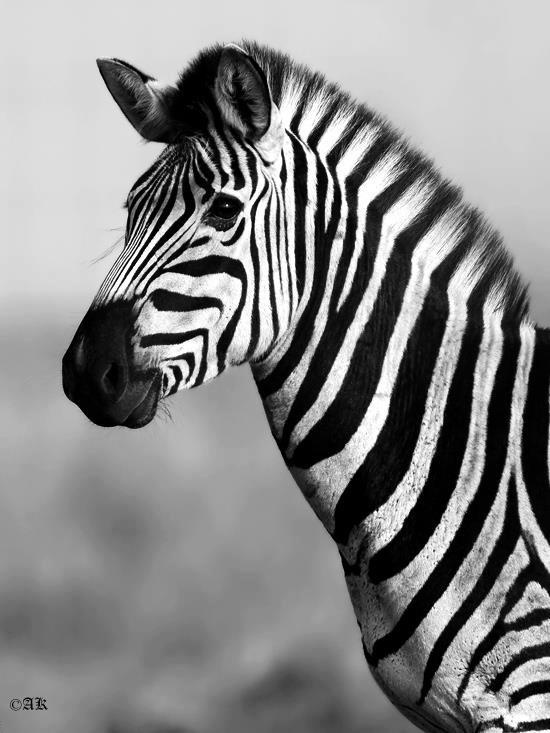 Zebra I'm I black with white stripes, or white with black stripes. Magascar. Lol
