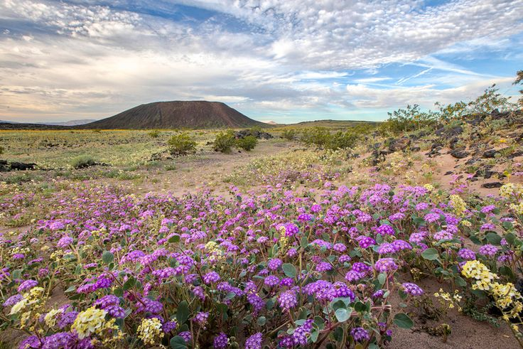 """Image: by Bob Wick. """"Amboy Crater."""" Courtesy of Bureau of Land Management California.  Beautiful purple desert wildflowers with mesa land formation in background. California.  #beautiful #flower #bloom #wild #flowers #nature #landscape #photography #deserts"""