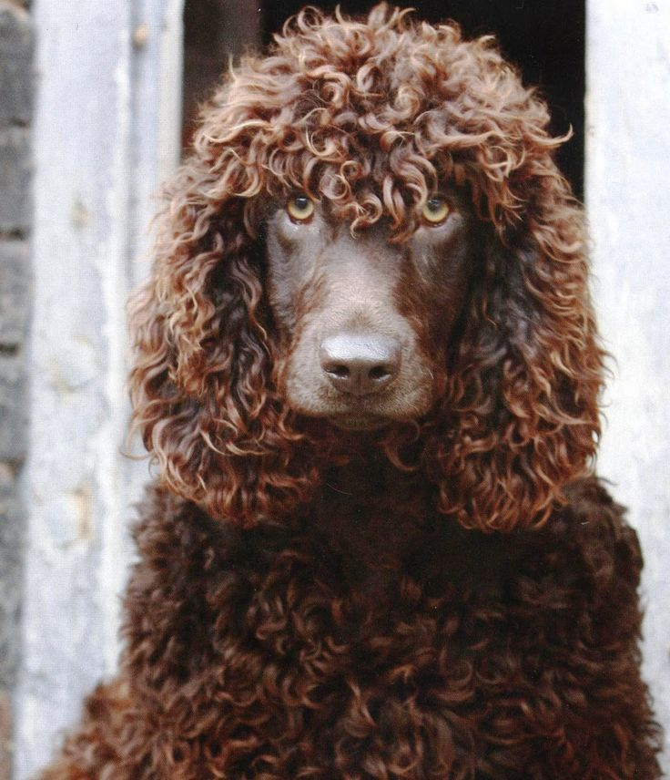 Irish Water Spaniel - we had 4 of these, Murphy, Millie, Minnie and Topsy.