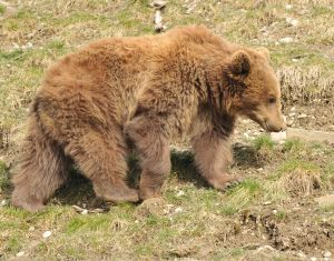 Berna the bear from Bärenpark, Bern - now relocated to Dobrich Zoo, Bulgaria