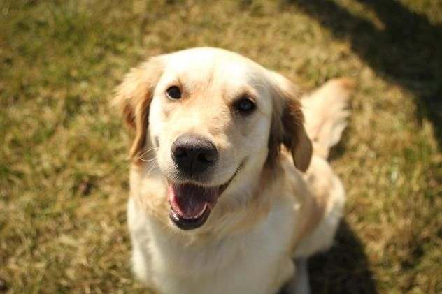 This is Summit - 3 yrs. She is a rescue from Turkey. She is spayed, current on vacciantions, potty trained, good with dogs. Needs a fenced yard, kids over age 12 yrs and someone who is home most of the time. Adopt A Golden Knoxville, TN. - http://www.adoptagoldenknoxville.org/available_dogs_detail.asp?id=823&frame=3 - https://www.petfinder.com/petdetail/34421615