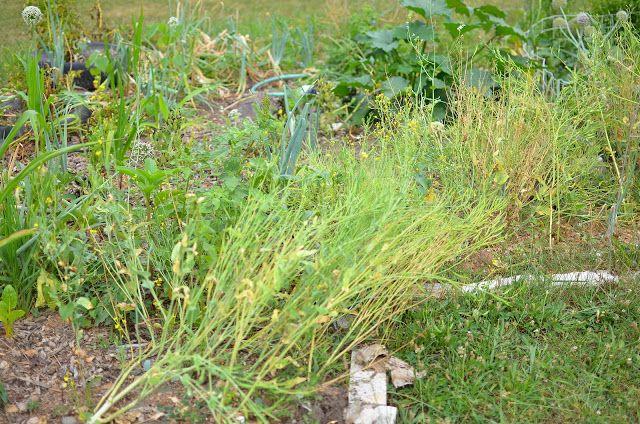How to Grow & Harvest Mustard Plants | Making Lemonade