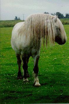 Kirkcarrion Highland Ponies - Stud Profiles - Orangefield