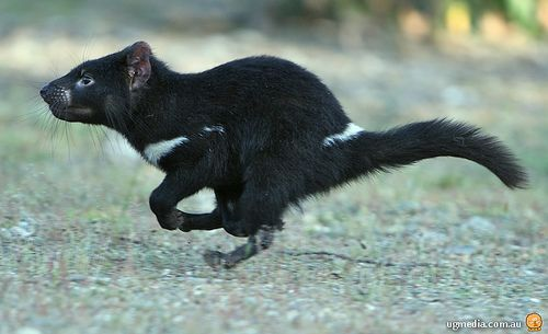 The Tasmanian Devil is also native to Australia! #TasmanianDevil #Australia #Animals