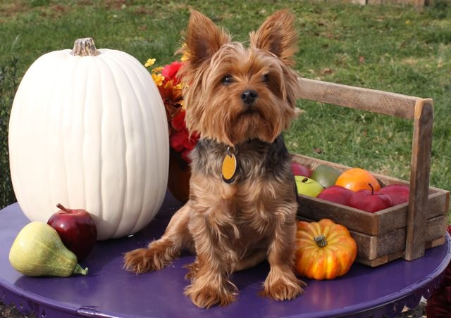 Pumpkin Pup: Dogs Days, Fall Pictures, Pumpkin Pup, Clothing, Pumpkins, Google Search, Dogs Fall, Fall Editing