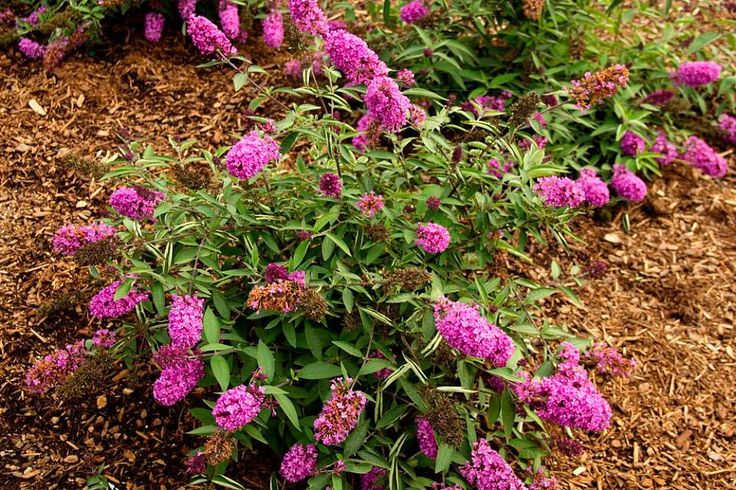 Amazon.com : Flutterby Petite Dark PInk Butterfly Nectar Bush - Buddleia - Gallon Pot : Patio, Lawn & Garden