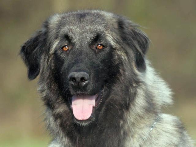 1000+ images about Estrela Mountain Dog on Pinterest