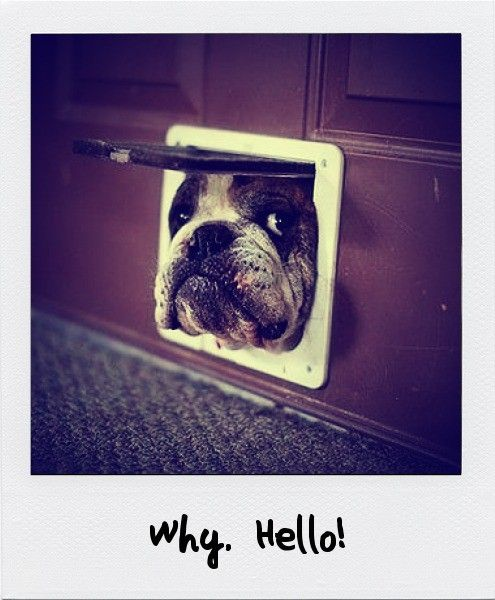 Too cute.: The Doors, Cat, Funny Dogs, Pet, English Bulldogs, Puppie, Peekaboo, Peek A Boo, Animal