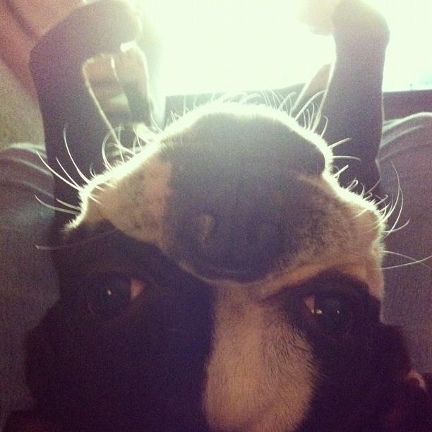 Babe  #bostonterrier  #boston #terrier #pictures