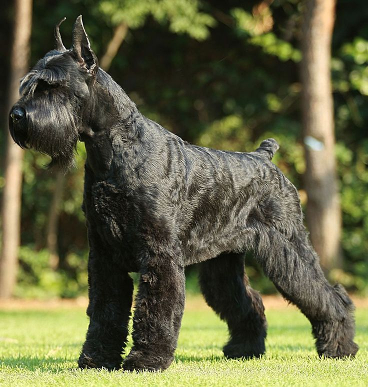 These dogs look like a poodle but groomed correctly that won't,they are very protective when they get older and they also get big we might get one of these:)