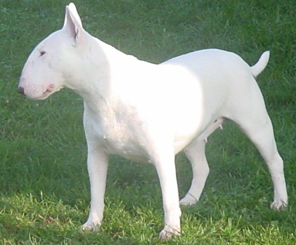 Miniature Bull Terrier Puppies CA | Bull Terrier Breeders and Kennels, Bull…