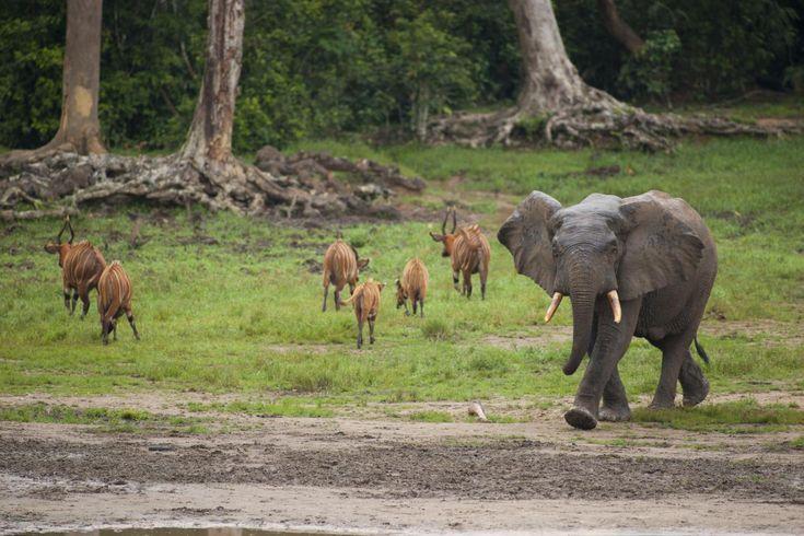 African Forest Elephant | African Forest Elephant. And bongos