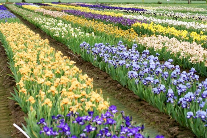 Schreinersgardens.com | The place where you can find hundreds of beautiful iris bulbs for sale. Love it!