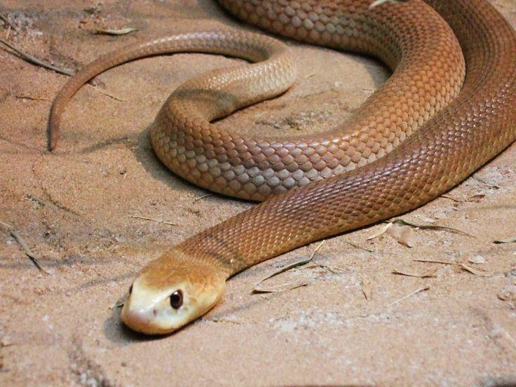 Serpiente taipan. La serpiente taipán guarda similitudes con otros ejemplares como la serpiente Mulga o la Oriental Brown. En la actualidad, se conocen tres especies de estas serpientes bajo el género Oxyuranus, siendo la taipán del interior (Oxyuranus microlepidotus), la que posee el veneno más letal del globo terráqueo.