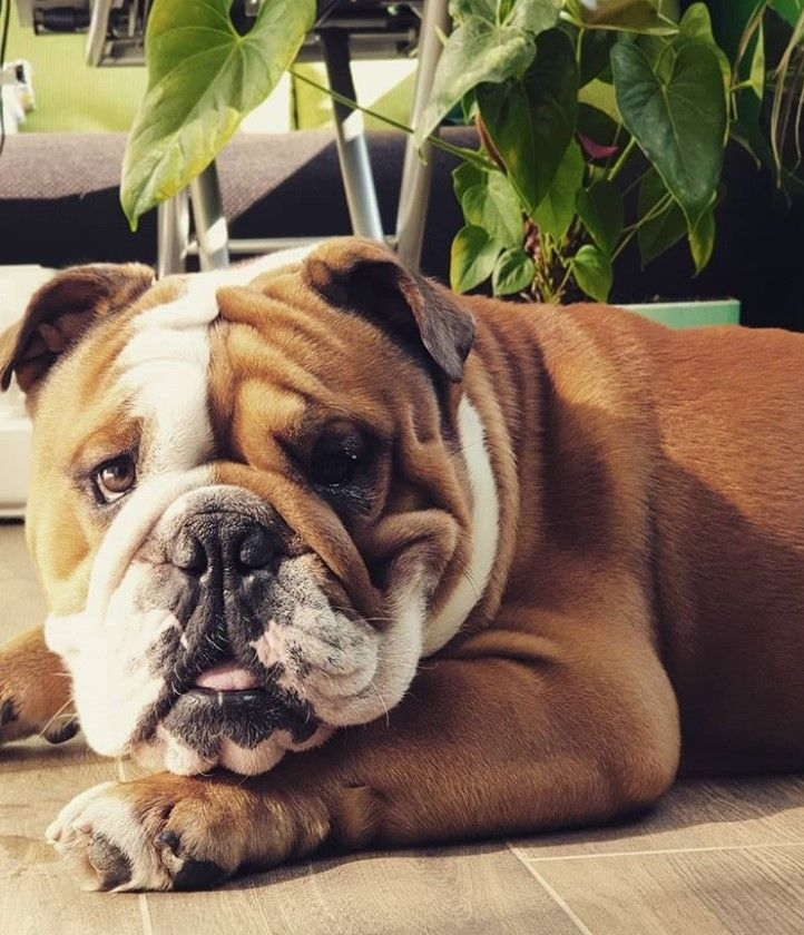 English Bulldog Puppy For Sale Englishbulldogpuppiesforsale