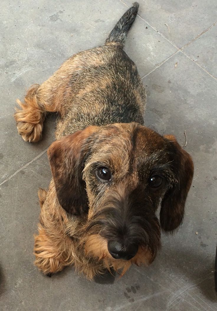 Dachshund wirehaired tiger