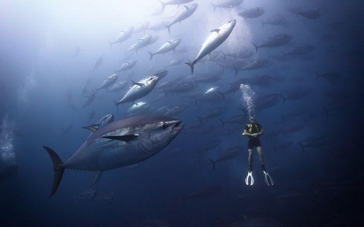"""Although many of Mr Bin Thalith's photos were taken in Indonesia and Malaysia, otthers were taken in the Mediterranean Sea. This image shows the scale of Atlantic Bluefin tuna off Malta. """