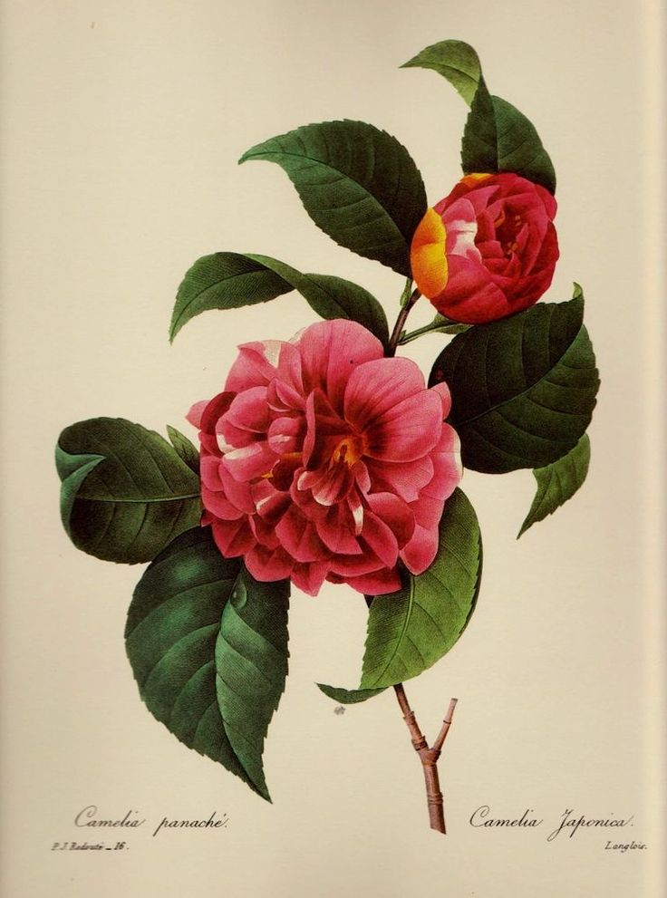 Botanical Flower Print Camelia Pink Gallery Wall Farmhouse ...