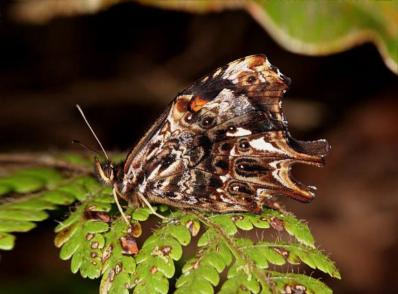 peru butterflies   Daedalma vertex , northern Peru © Tony Hoare