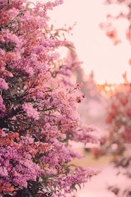Sanne Brännström - Syrén. A photograph of pink lilacs in the sunset.