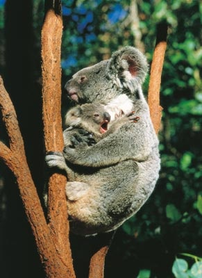 Yawn! It's too early to get up! #koala