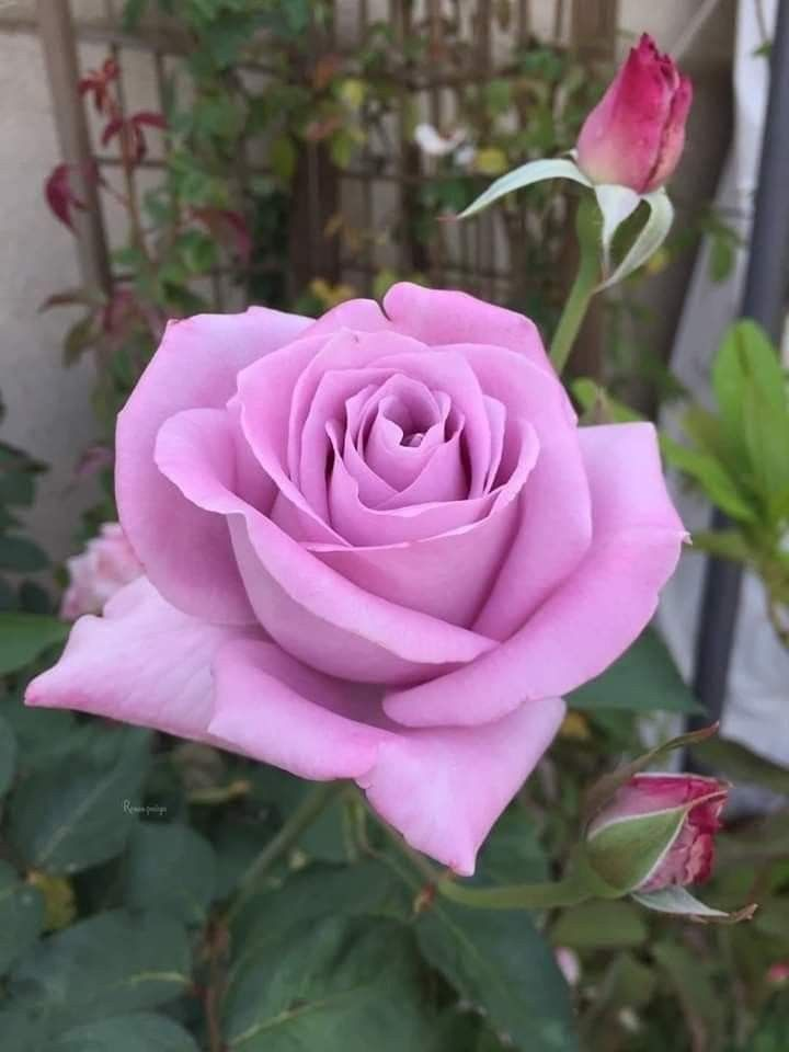 Pin By Shradha Darsani Devi On 1 A File General In 2020 Beautiful Rose Flowers Beautiful Roses Beautiful Flowers Wallpapers