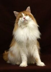 Maine Coon, Red Tabby Blotched & White (d 09 22). Grand Champion Y1Kats Cool Hand Luke of RiverCats