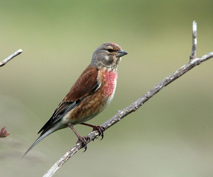 Common linnet - Carduelis cannabina