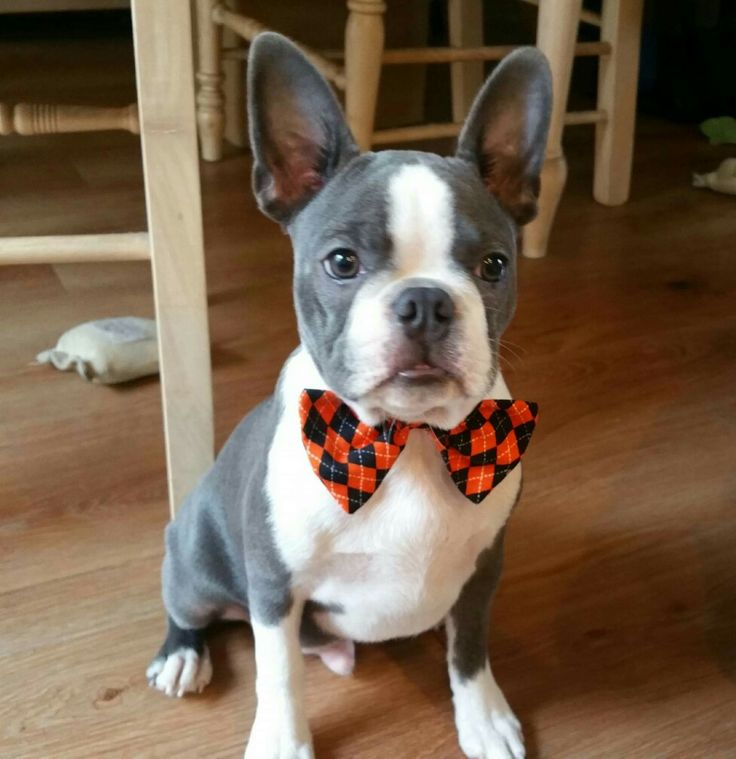 Blue boston with images boston terrier dog boston