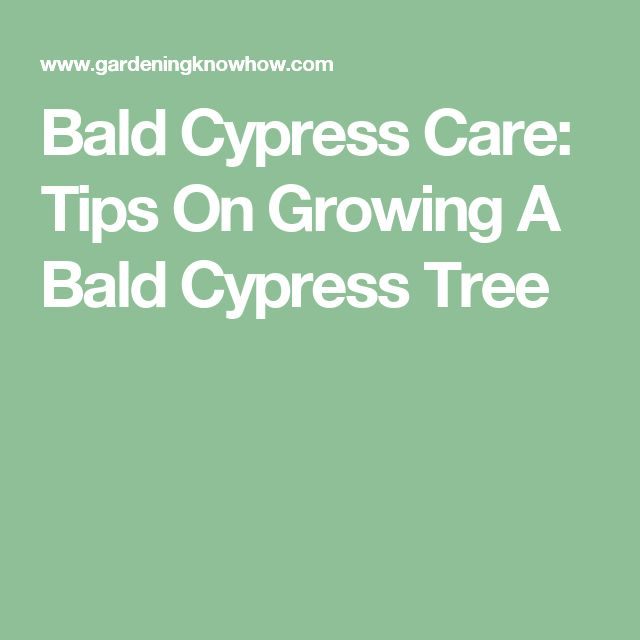 Bald Cypress Care: Tips On Growing A Bald Cypress Tree