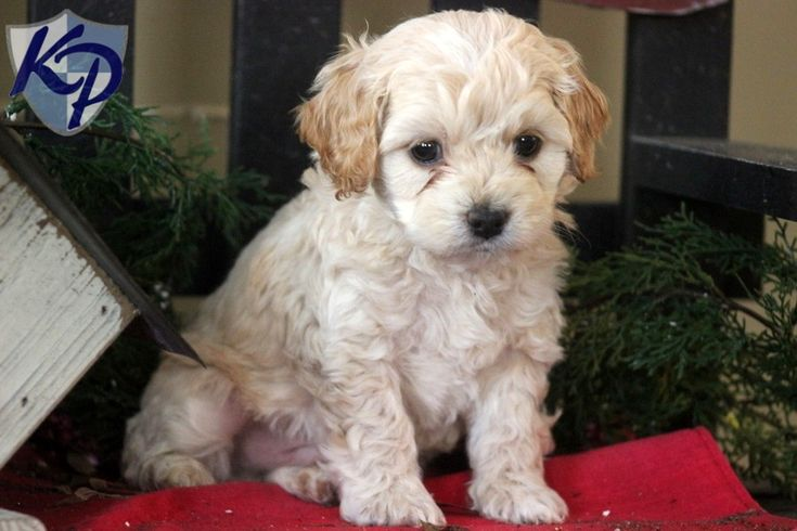 Lason – Poodle Mix Puppies for Sale in PA | Keystone Puppies