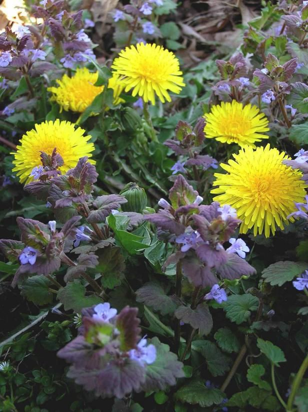 The lawn experts at DIY Network discuss what familiar weeds reveal about your lawn's growing conditions and how you can control them.