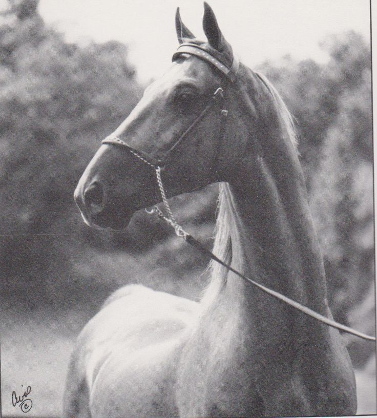 The American Saddlebred: 4/17/13 Supreme Sultan sons. Radiant Sultan