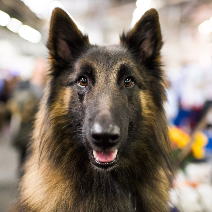 "Buzz, Belgian Tervuren (2 y/o), AKC Meet The Breeds 2017, New York, NY • ""He stands at attention when the cat goes by, but he'll also go outside and herd up to six sheep at once. He's also a therapy..."