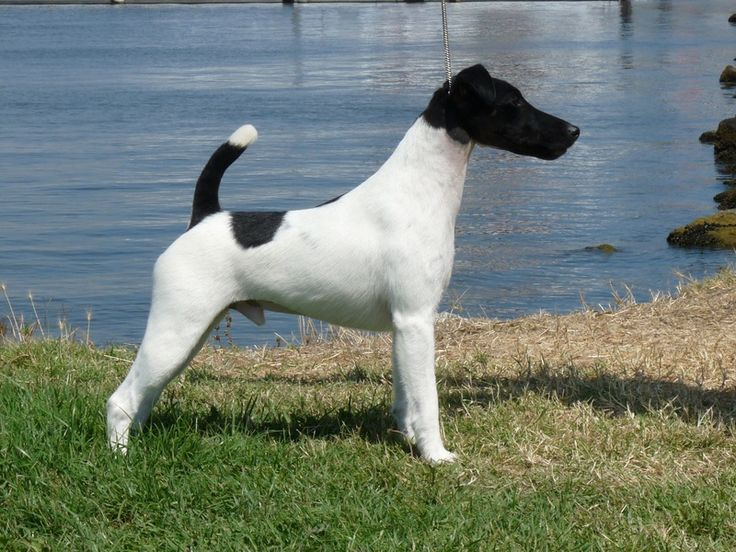 smooth fox terrier breeders 157 best images about smooth fox terrier on pinterest 2974