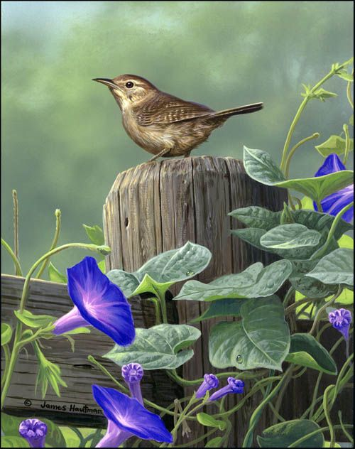 'Morning Glories: a nice setting for a Wren' -   by Jim Hautman