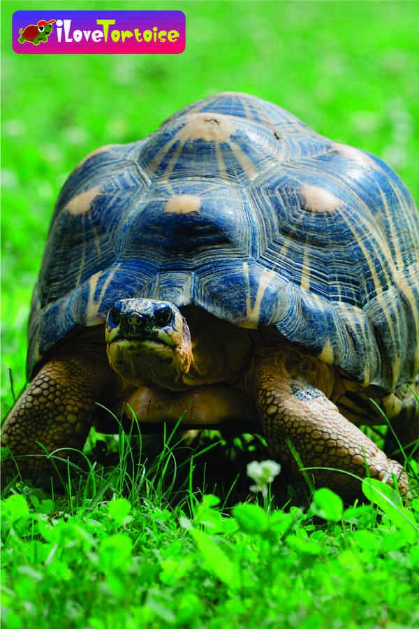 Do Tortoises Smell In The House In 2020 Tortoises Tortoise Musky